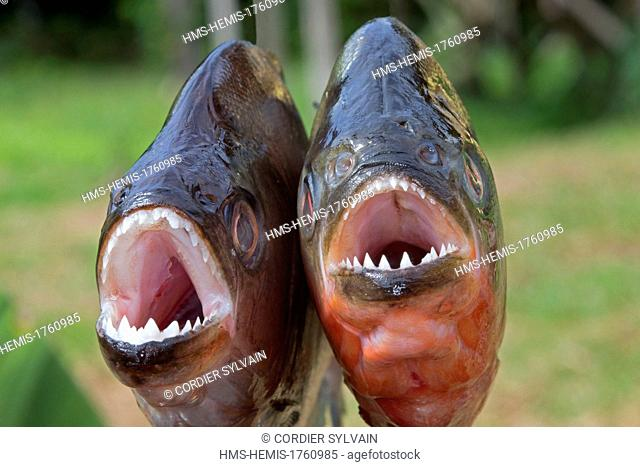 Brazil, Amazonas State, Manaus, Amazon river basin, along Rio Negro, Red-bellied piranha or red piranha (Pygocentrus nattereri) and Redeye Piranha (Serrasalmus...