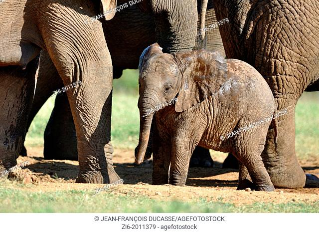 African elephants, mother and baby at the water hole, Addo Elephant National Park, Eastern Cape, South Africa