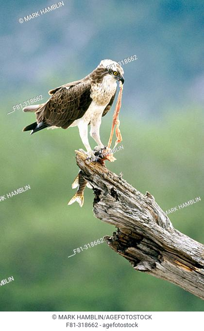 Osprey (Pandion Haliaetus). Adult male perched feeding on fish. Highlands. Scotland