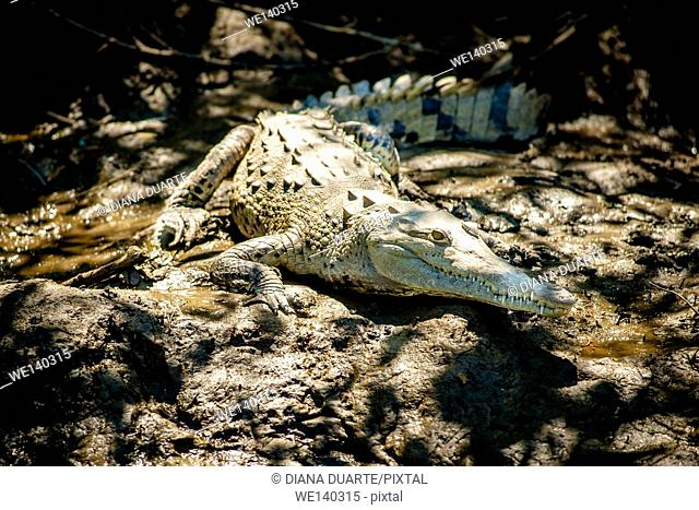 'American crocodile (Crocodylus acutus)'. The American crocodile can be seen throughout the lowlands of Costa Rica, gliding along rivers or sunning on muddy...