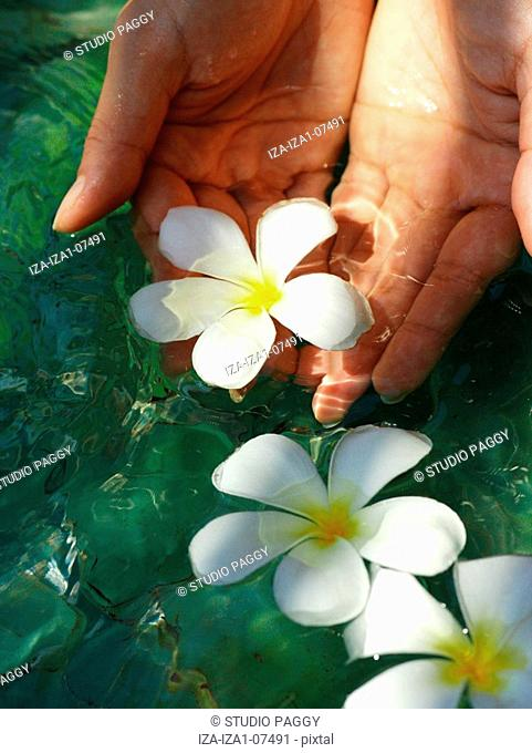 Close-up of a woman's hands picking a Frangipani Plumeria flower from water