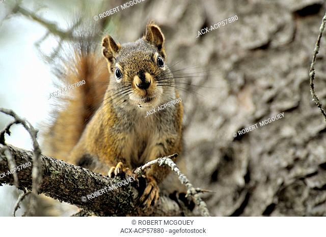 A horizontal image of a red squirrel Tamiasciurus hudsonicus on a tree branch looking down at the photographer