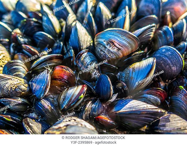 Black mussels cling to a rock