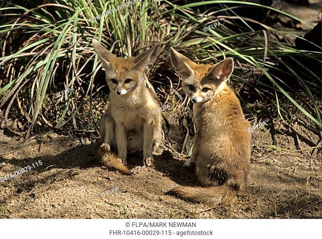 Fennec Fox Vulpes zerda two cubs, sitting