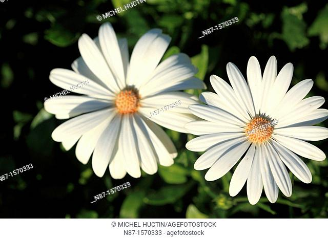 Chrysanthemum maximum or high margueritte