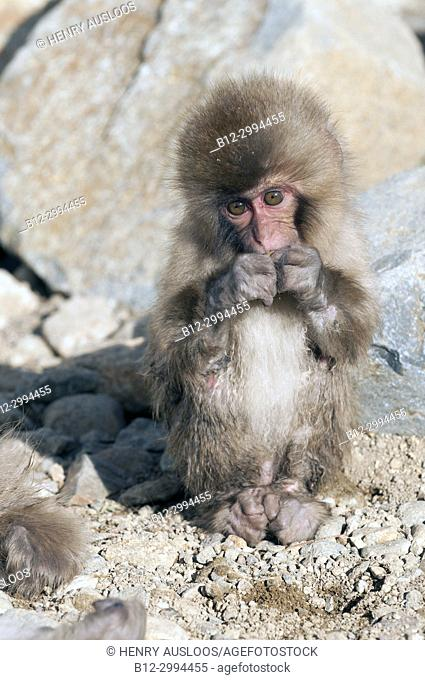 Japanese macaque or snow japanese monkey, baby eating (Macaca fuscata),Japan