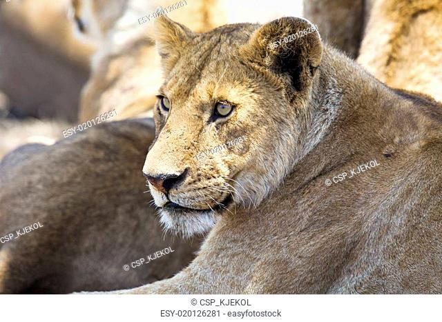 Lion rests together with the pride