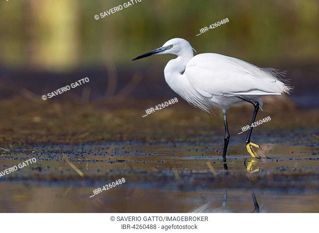 Little Egret (Egretta garzetta), wading in the water, Campania, Italy
