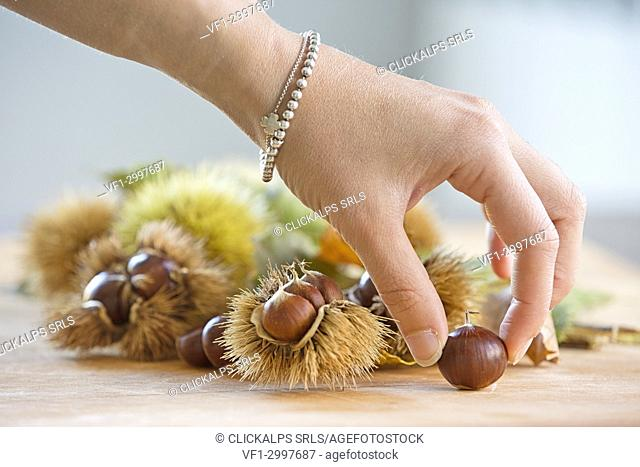 Autumn chestnuts placed for a still life setting,Lombardy. Italy