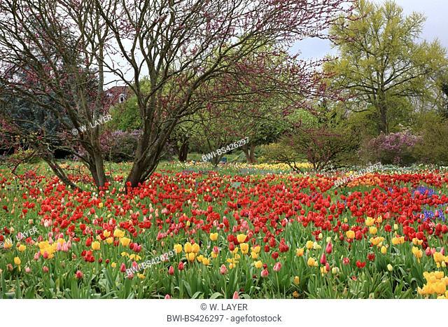 judas tree (Cercis siliquastrum), blooming judas tree in a park with tulips, Germany