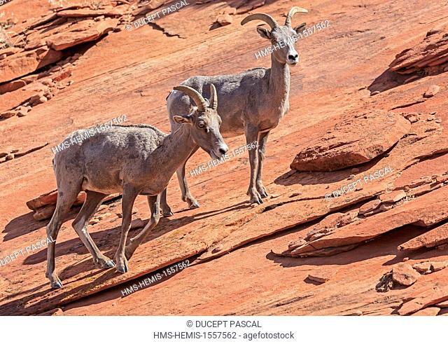 United States, Utah, Colorado Plateau, Zion National Park, Zion-Mount Carmel Highway 9, Zion eastern high plateaus, desert bighorn sheeps (Ovis canadensis...