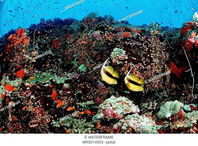 Pair Bannerfishes at Coral Reef, Heiniochus acuminatus, Red Sea, Sudan