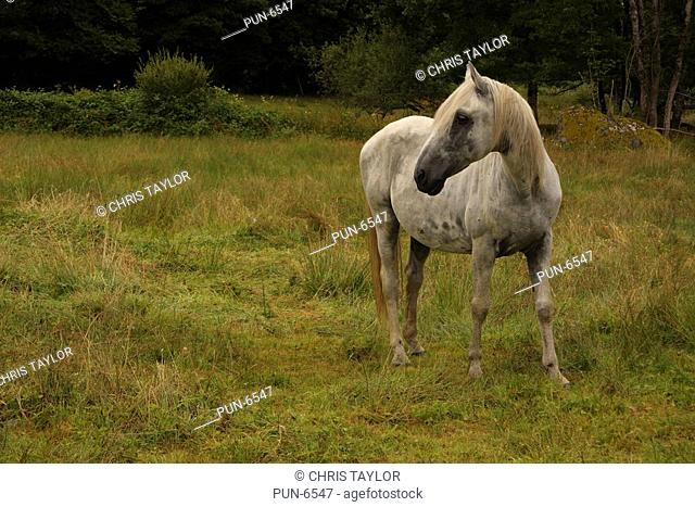 A grey horse in a field with woodland