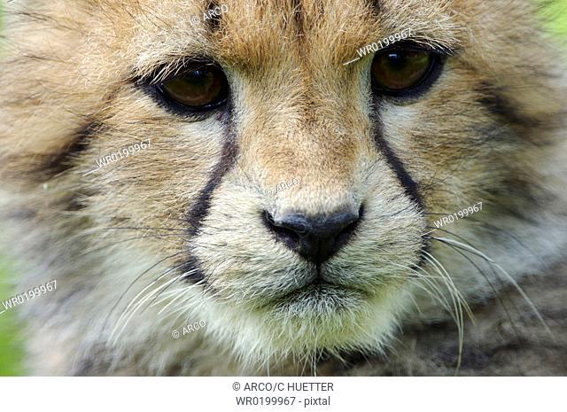 Cheetah, cub,Acinonyx, jubatus