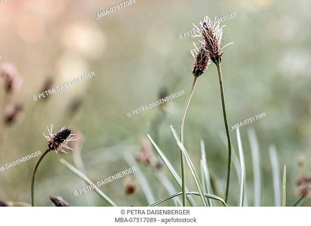 Two ribwort flowers close together (Plantago lanceolata)