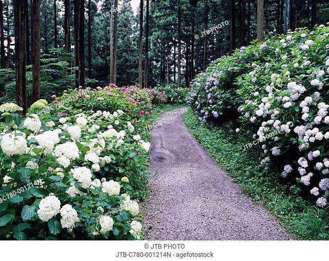 Michinoku Viburnum macrophyllum garden, flower, Ichinoseki, Iwate, Japan