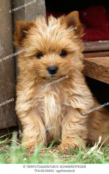 sitting Yorkshire Terrier Puppy