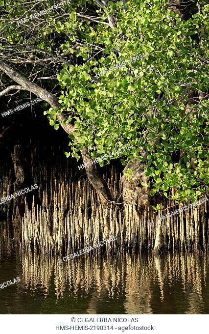 Indonesia, Lesser Sunda Islands, Alor archipelago, Pantar Island, Kabir, mangrove trees pneumatophores