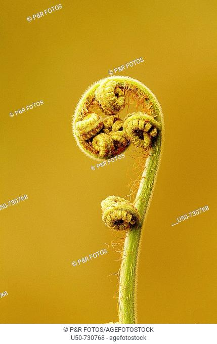 Young leaves of fern, Pteridophyta, Brazil