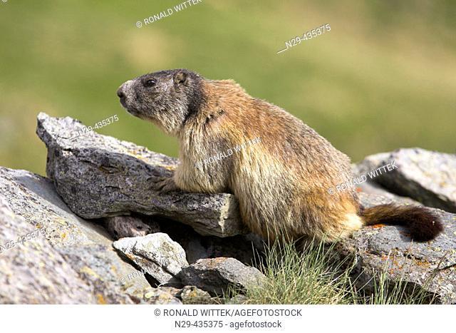 Marmoto marmota, Nationalpark Hohe Tauern. Austrian Alps