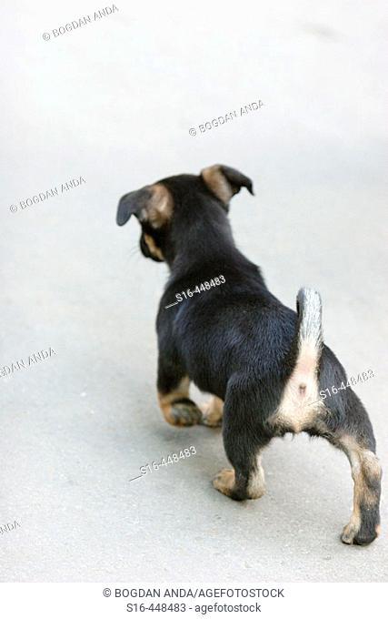 German Shepard looking street puppy