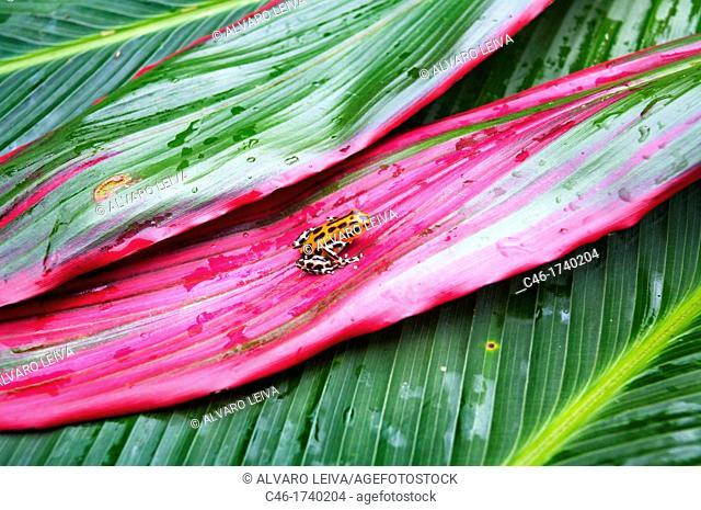 Strawberry Poison Dart Frog Dendrobates pumilio, Bastimentos island, Bocas del Toro province, Caribbean sea, Panama