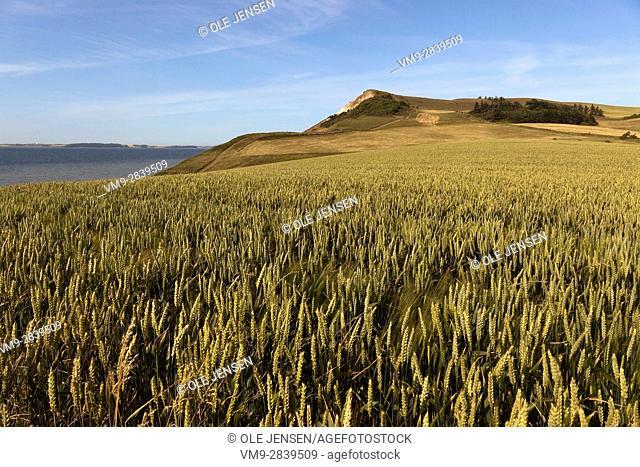 Wheat field near Salgjerhoj cliff on the island of Miors, Denmark