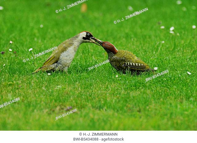 green woodpecker (Picus viridis), adult feeds juvenile in a meadow, Germany, Rhineland-Palatinate