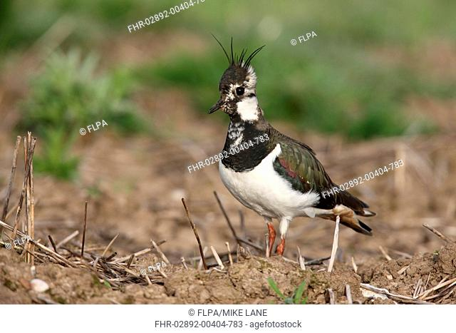 Northern Lapwing Vanellus vanellus adult female, standing in field, Midlands, England, spring