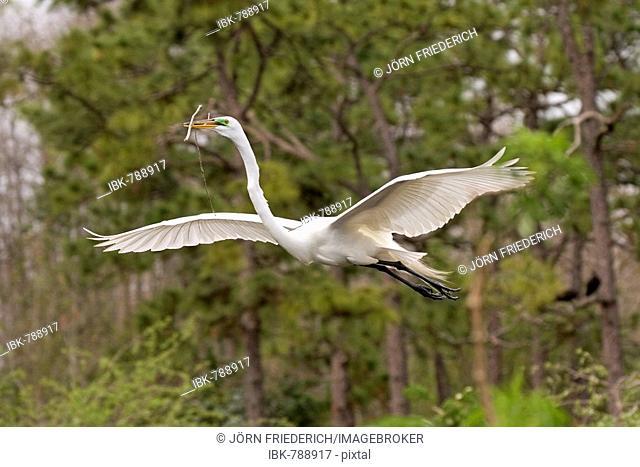 Great Egret (Ardea alba) carrying nesting materials, Gator Park, Kissimmee, Florida, USA