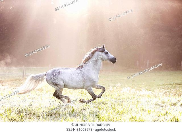 Pure Spanish Horse, Andalusian. Gray gelding galopping on a meadow on a misty morning in autumn. Germany