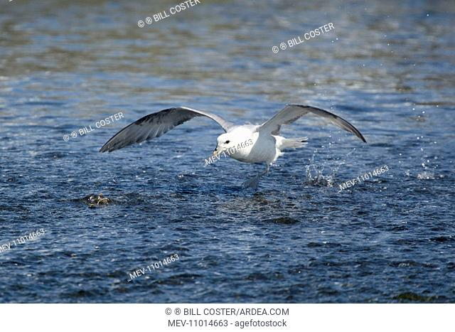Fulmar - in flight running across water Iceland (Fulmarus glacialis)