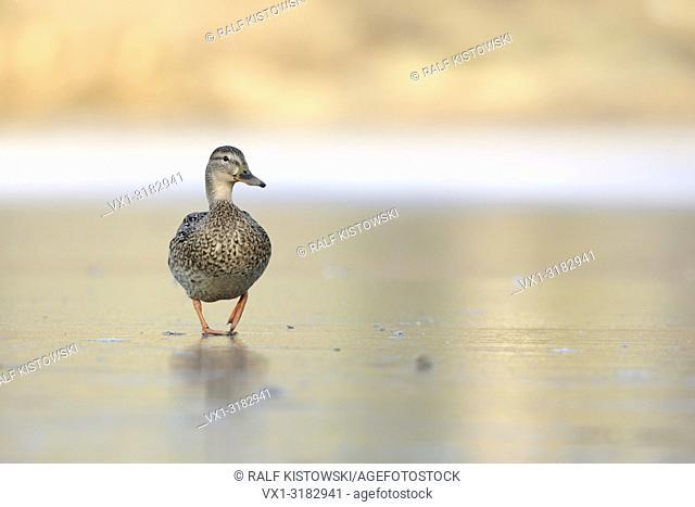 Mallard / Wild Duck ( Anas platyrhynchos ), lonsesome female, walks over a frozen lake, funny frontal low point of view, waddling gait. .