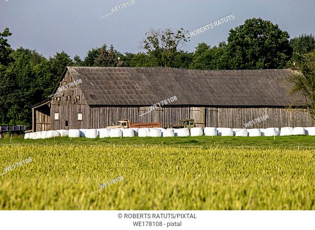 Hay bales on the green meadow at the barn. Hay bales on the field near the barn in Latvia. Summer landscape with cereal field, trees and barn