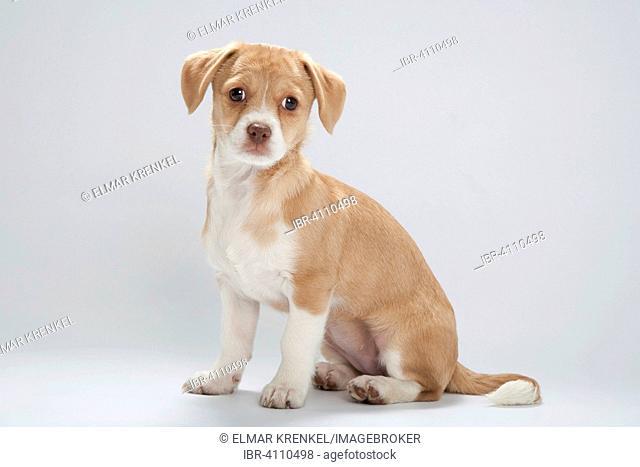 Mongrel puppy