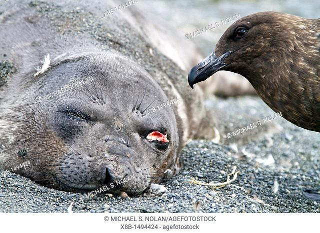 Dead southern elephant seal Mirounga leonina pup being eaten by an Antarctic skua on South Georgia Island in the Southern Ocean  MORE INFO The southern elephant...