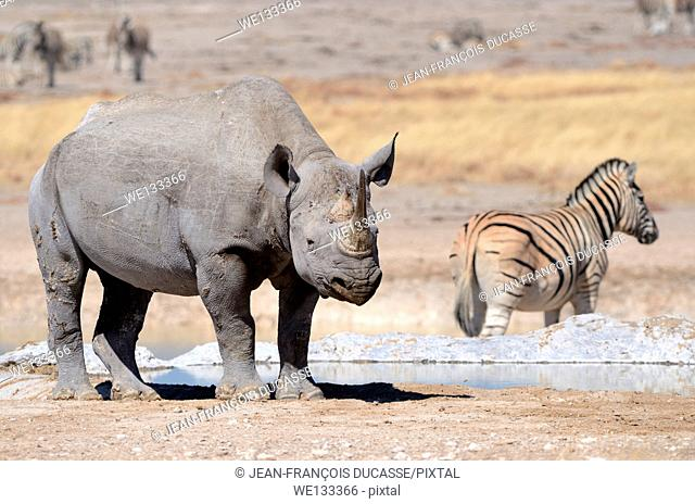 Black Rhinoceros (Diceros bicornis), adult male and Burchell's zebra (Equus burchelli) standing at waterhole, Etosha National Park, Namibia, Africa