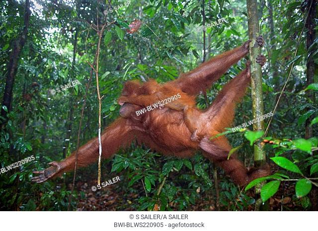 Sumatran orangutan Pongo pygmaeus abelii, Pongo abelii, mother and baby rushing through the trees of a sumatran rainforest close to the ground, Indonesia
