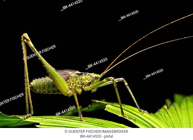 Neotropical katydid (Tettigoniidae), Amazon rain forest, Canande River Nature Reserve, Choco Forest, Ecuador
