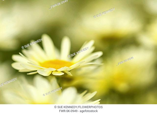 Yellow chamomile, Anthemis tinctoria, Yellow coloured flowers in bloom growing outdoor