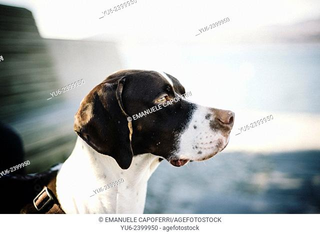 Hunting dog Pointer