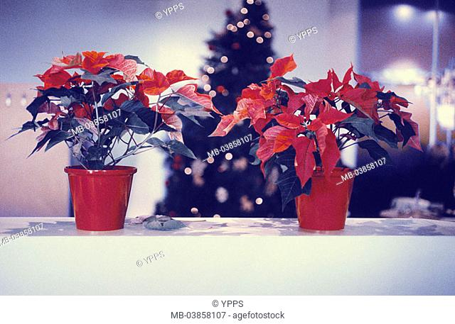 Flowerpots, Christmas-stars, Euphorbia pulcherrima, background, Christian-tree, fuzziness, Advent-stars, Poinsettie, room-plants, potted plants, ornament-plants