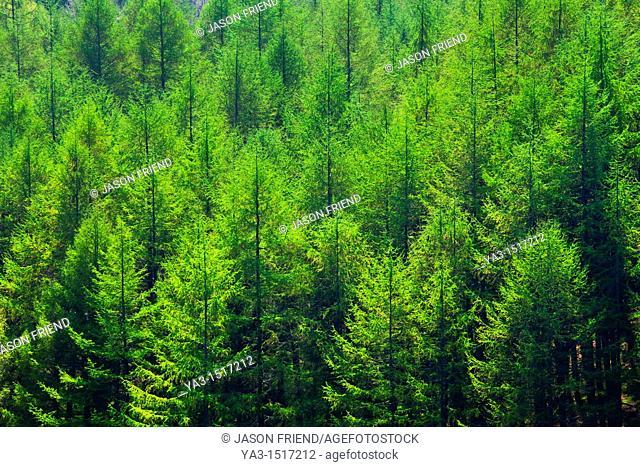 England, Northumberland, Allen Banks & Staward Gorge  Pine Tree Forest Plantation in the Staward Gorge National Trust Area