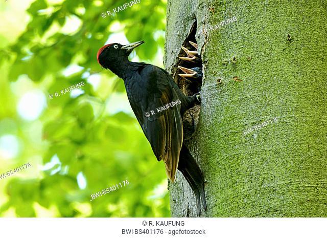 black woodpecker (Dryocopus martius), adult brings fodder to the fledgelings in the breeding cave, Germany, North Rhine-Westphalia