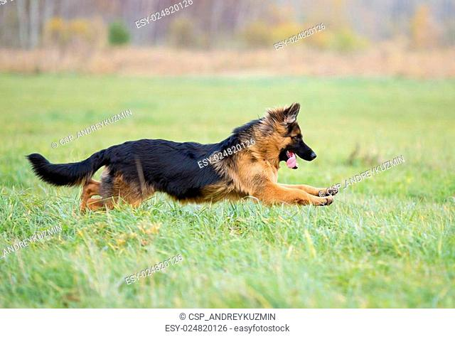 German shepherd dog long-haired jumping outdoor