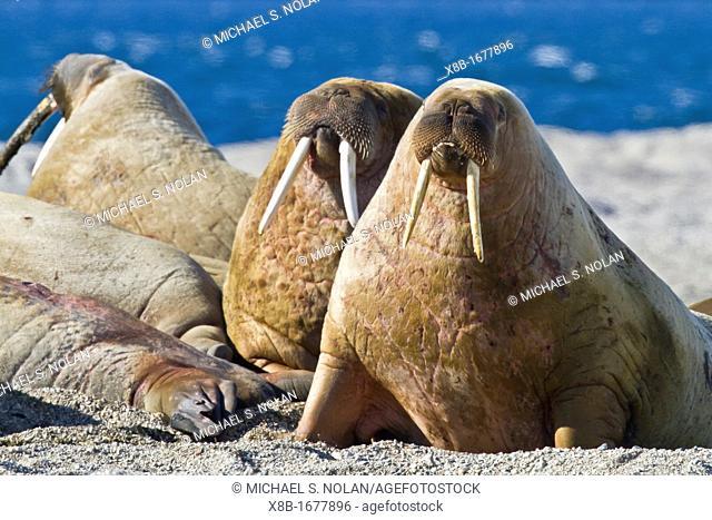 Adult bull walrus Odobenus rosmarus rosmarus hauled out on the beach in the Svalbard Archipelago, Norway