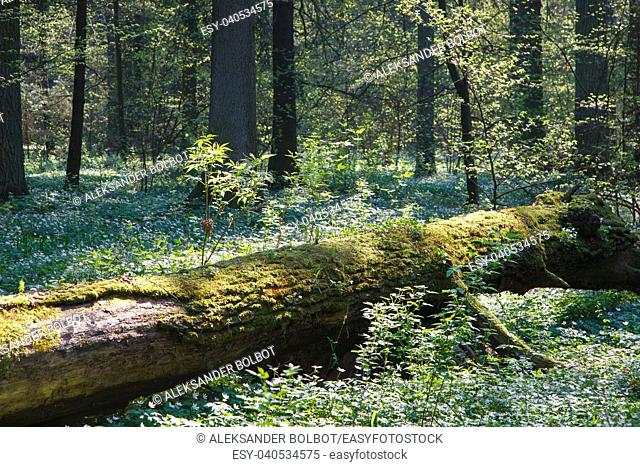 Partly declined dead tree lying among blooming wood anemone (buttercap family), Bialowieza Forest, Poland, Europe