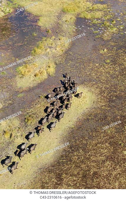 Cape Buffalo (Syncerus caffer caffer), roaming herd in a freshwater marsh, the white birds are Cattle Egrets (Bubulcus ibis), aerial view, Okavango Delta