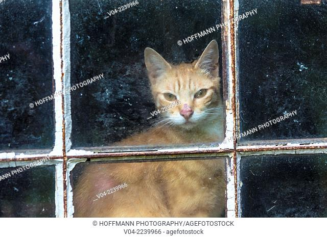 Single cat (Felis catus) looking through a window, Germany, Europe