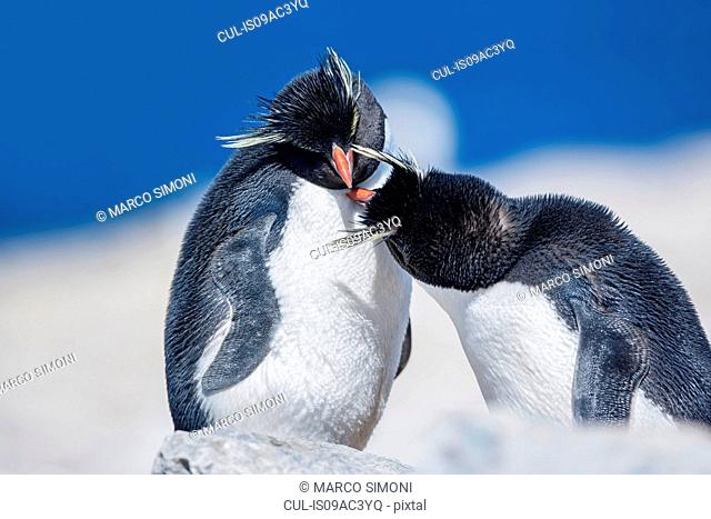 Two Rockhopper penguins (Eudyptes chrysocome chrysocome) in an affectionate mood, Falkland Islands